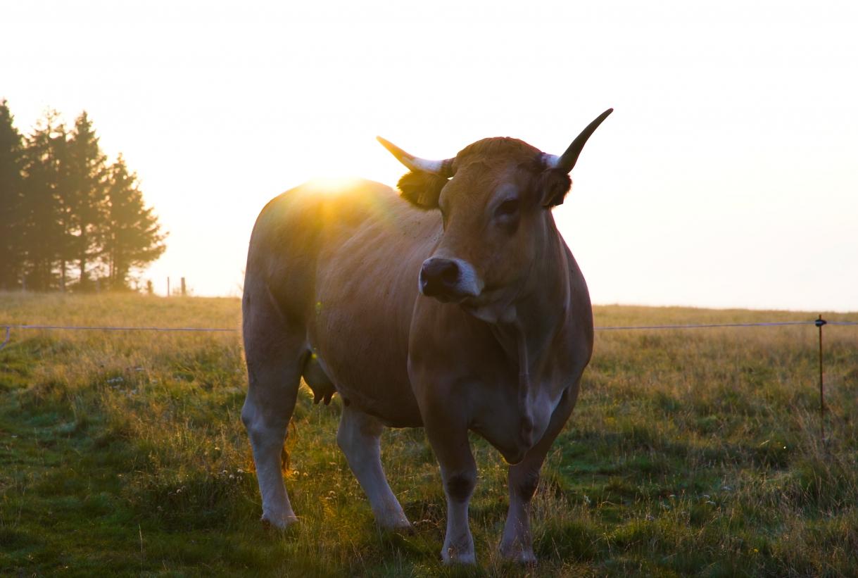 AGENCE SOLAR SQUAD La vache égérie du Salon de l'Agriculture